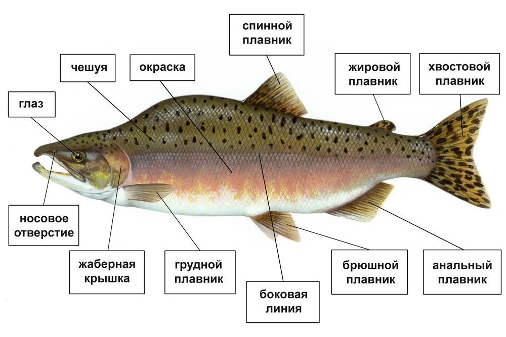 Функции анальных плавников у рыб