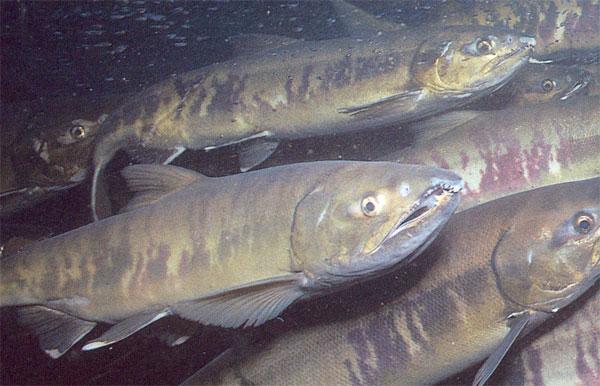 Рыбаки-любители ЕАО могут выловить в 2014 году 23 тонны кеты
