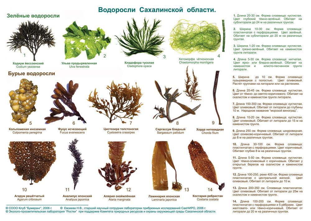 Презентация по биологии на тему водоросли